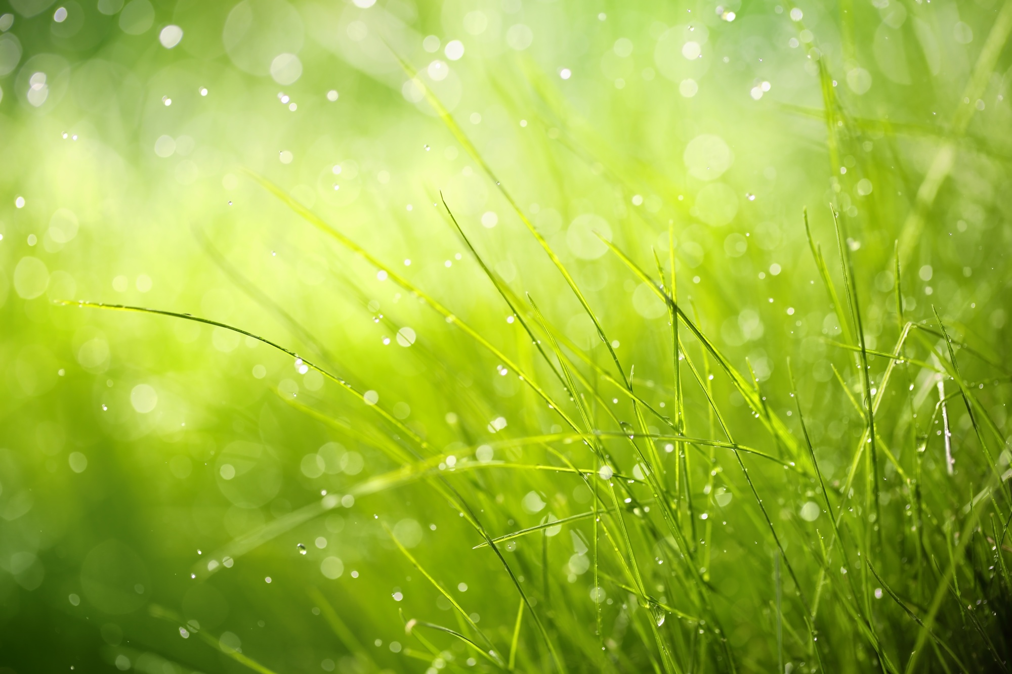 Morning dew on spring grass,Shallow Dof.